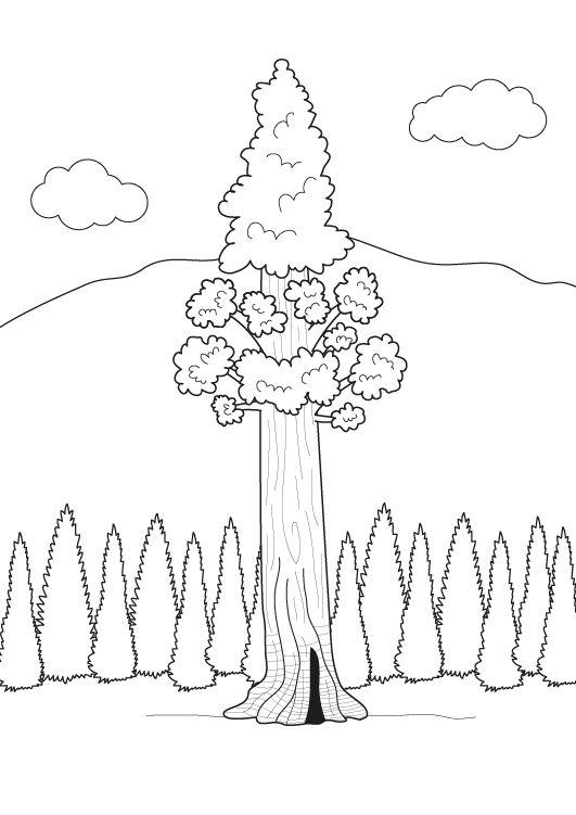 El árbol más alto del mundo: dibujo para colorear e imprimir