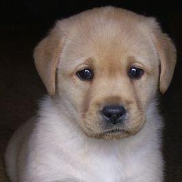 Labrador Retriever: más que el perro de Scottex