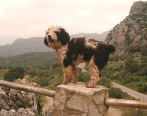 Perro de aguas: el cavernícola rizoso