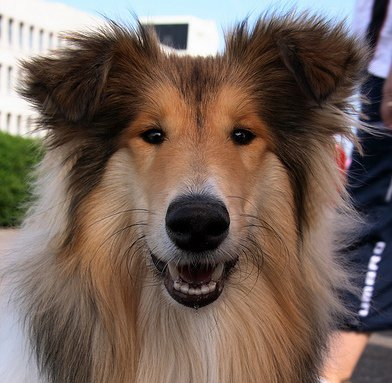 Collie: adopta un famoso