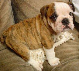 Bulldog Inglés: de perro de pelea a mascota dócil