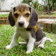 Beagle: cazador por naturaleza