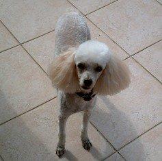 Caniche: el perro aristócrata