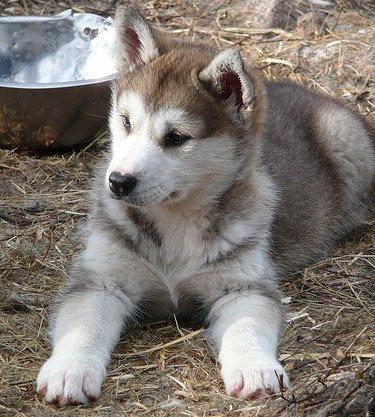 Husky Siberiano: Sube, que te llevo