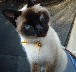 Siamés: gato de culto