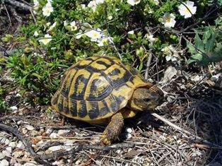 Tortuga Mediterránea: cultura playera