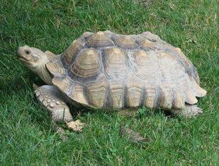 Tortuga Sulcata: peso pesado