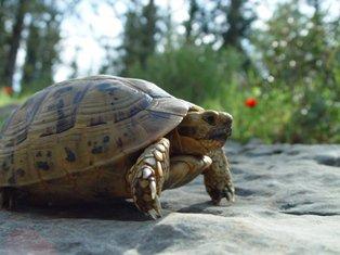 Tortuga Mora: desplazada de su hábitat
