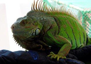 Iguana Verde: más buena que el pan