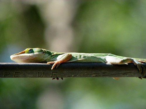 Anolis verde: aprendiz de camaleón