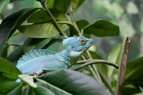 Basilisco Verde: el lagarto Jesucristo