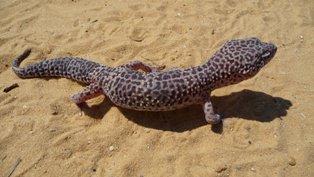 Gecko Leopardo: el elegido