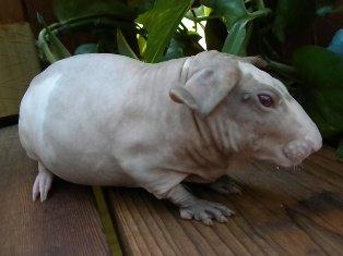 Baldwins: hipopótamos de un kilo