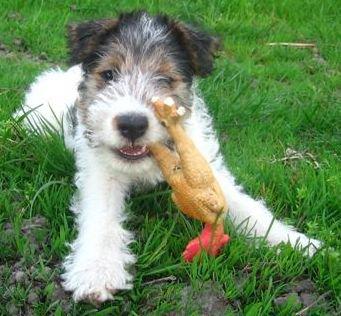 Fox Terrier: el perrito de Tintín