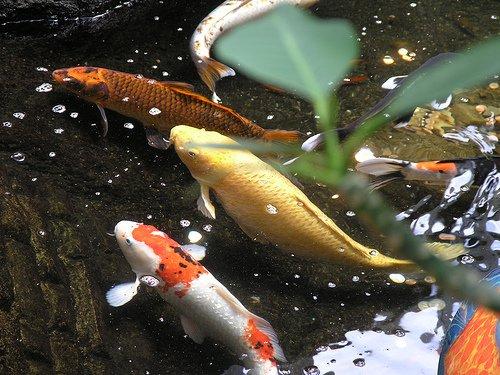 Koi: un clásico de los estanques