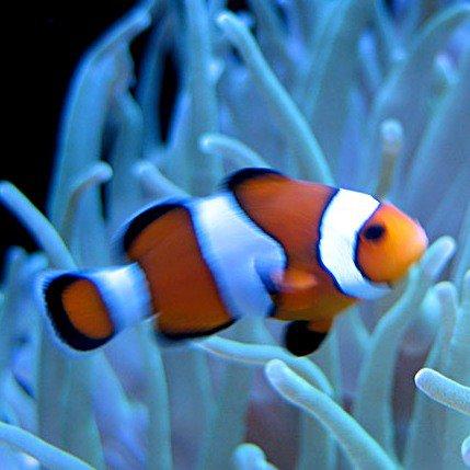 Payaso: encontrando a Nemo