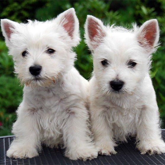 Westie Terrier: el peluche escocés