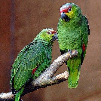 Loro del Amazonas: mascota de por vida
