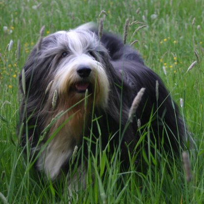 Bearded Collie: el primo barbudo de Lassie