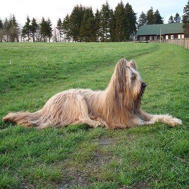 Briard: el perro campestre ideal