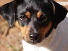 Terrier Brasileño: el pequeño todoterreno