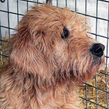 Otterhound: el terror de las nutrias
