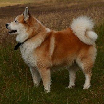 Pastor Islandés: mascota de vikingos