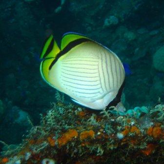 Mariposa: familia entre el coral