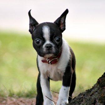 Boston Terrier: ¿miedo yo?